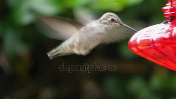 Pět videa skutečné kolibříkovi v rozlišení 4k