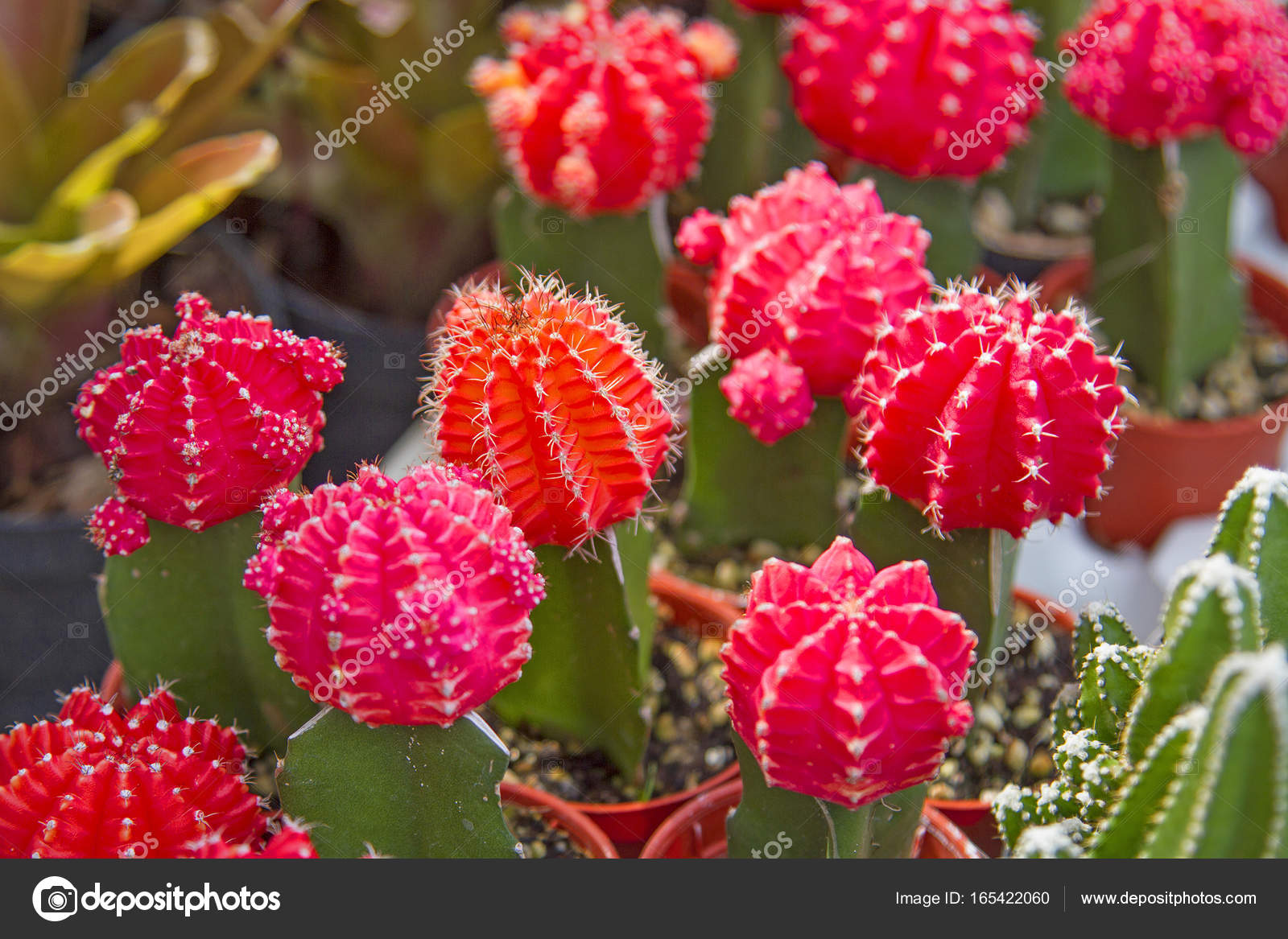 Cactus Pink Flowers Many Beautiful Trees Stock Photo