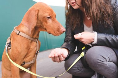 The female owner feeds the dog on the street. The sad dog does not want to eat. Magyar Vizsla Breed