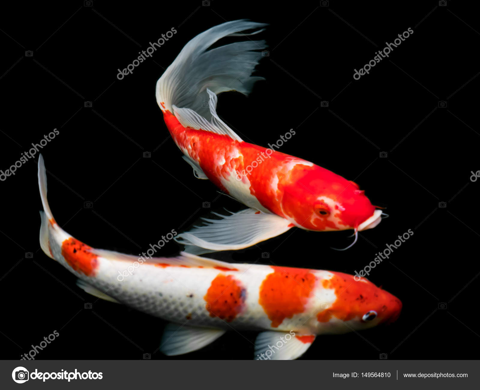 Beautiful colorful fancy carp fish — Stock Photo © geenamp.gmail.com ...
