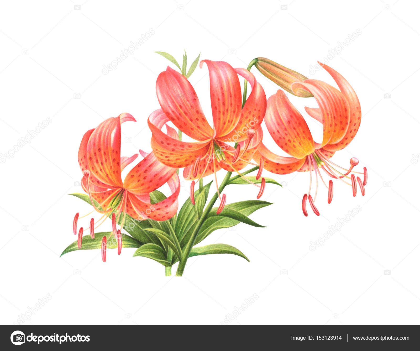 Orange lilly flowers hand drawn watercolor painting on - High resolution watercolor flowers ...