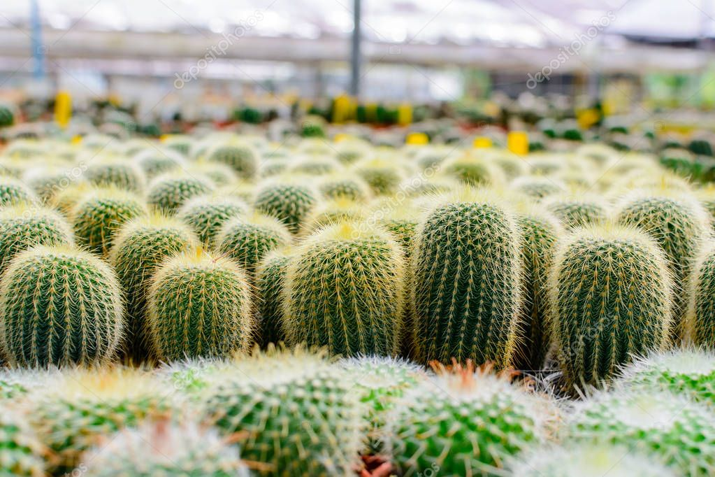 Cactus tree shop with breeding in the house
