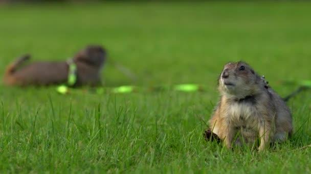 Heimische Präriehunde spielen auf dem grünen Rasen. Zwei süße Präriehunde an der Leine spielen im grünen Gras