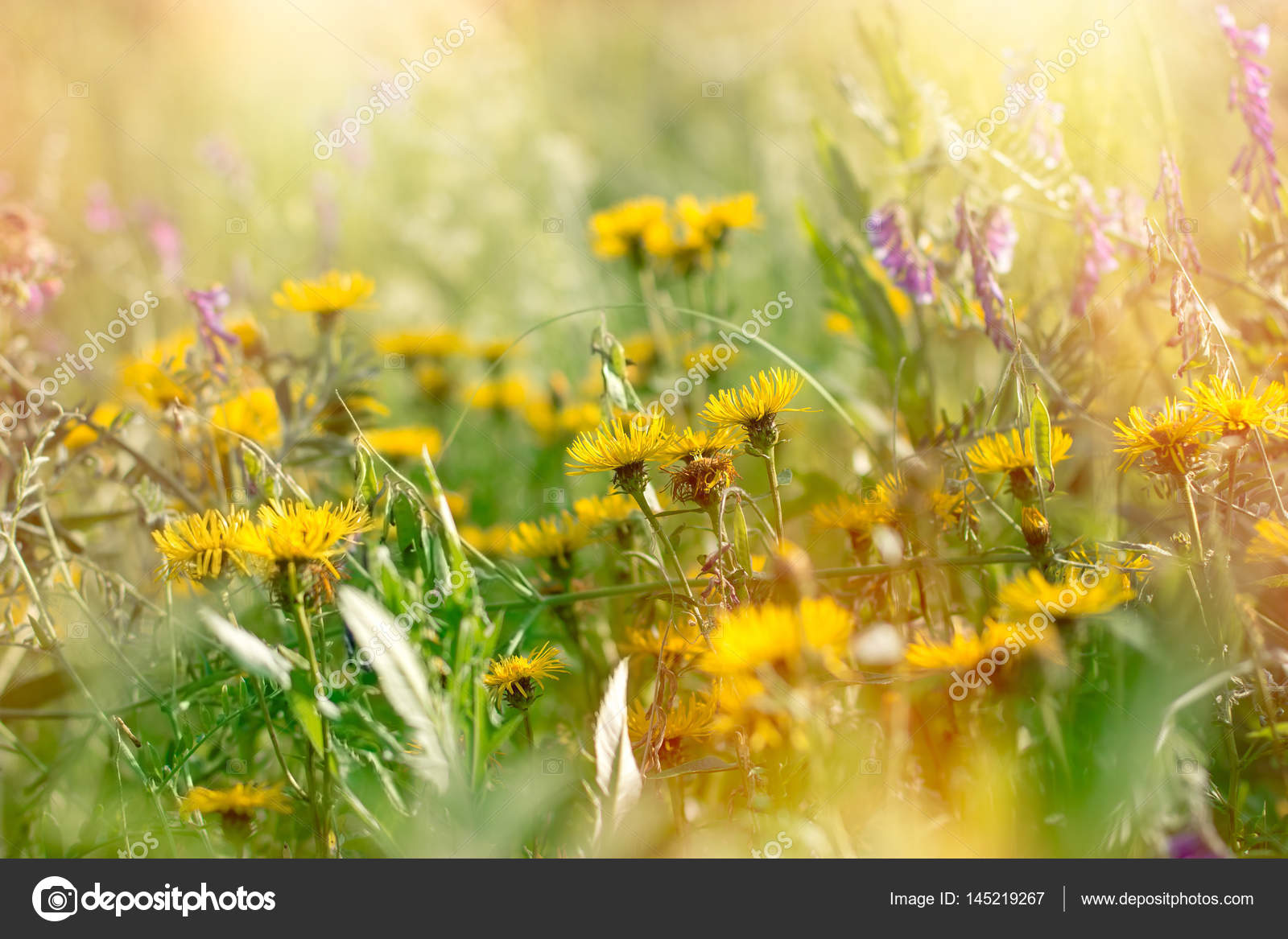 Flowering Yellow And Purple Flowers In Meadow Stock Photo Lola19