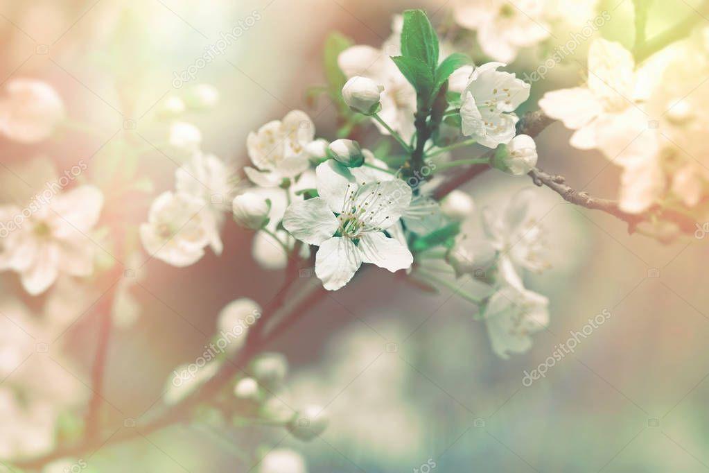 Flowering fruit tree - branch of fruit tree
