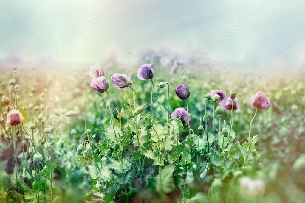 Purple poppy flower in meadow