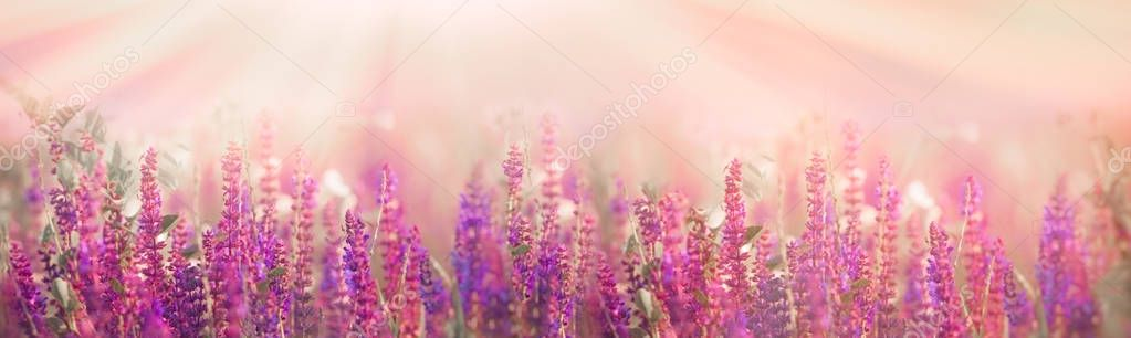 Selective and soft focus on purple flowers in meadow in spring - springtime
