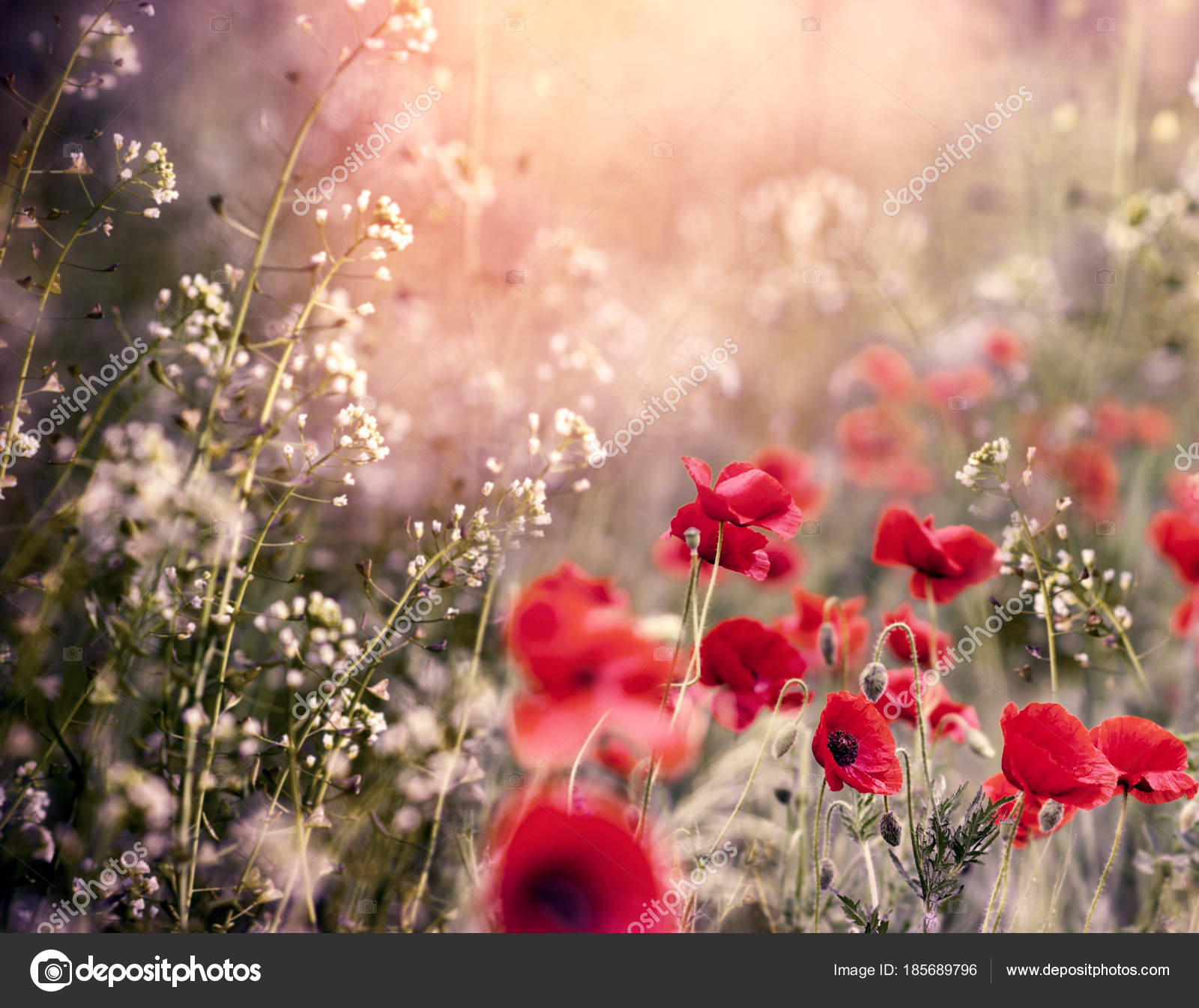 Red Poppy Flower Meadow Little White Flowers Beautiful Nature