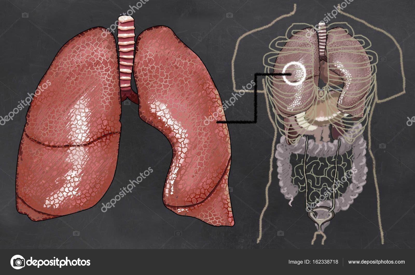 Lunge Anatomie Abbildung mit Torso — Stockfoto © TLFurrer #162338718