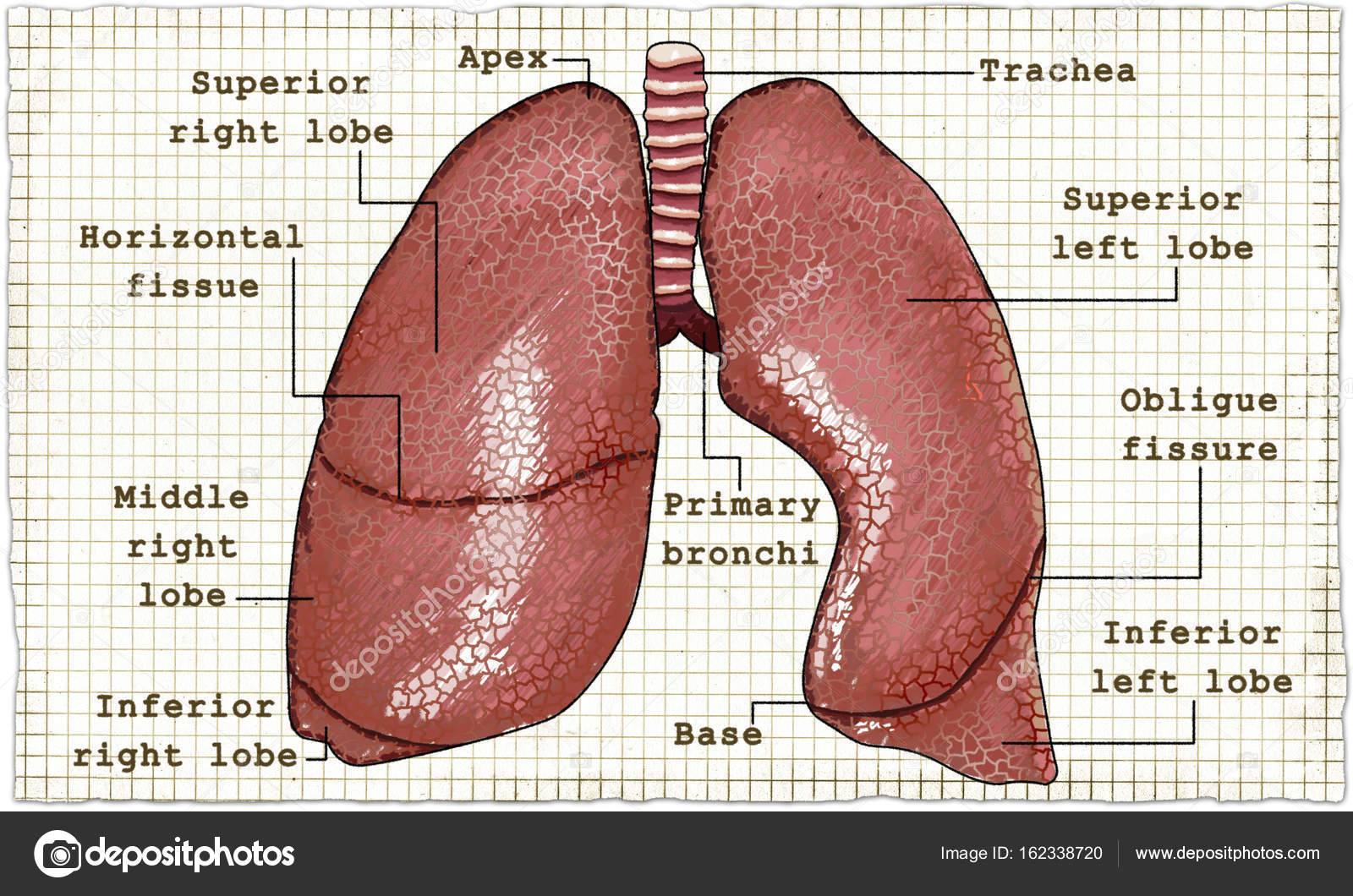 Lungs Anatomy Illustration on Paper — Stock Photo © TLFurrer #162338720