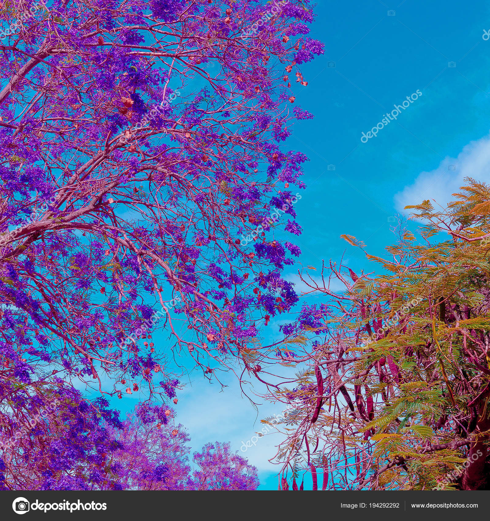 tropial arbre violet fleurs humeur d'été — photographie