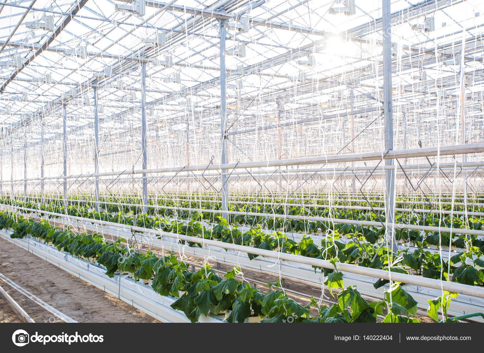 Pflanzen im Gewächshaus. Gurkenpflanzen wachsen — Stockfoto ...