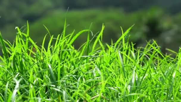 Travní ostří se pohybuje ve větru.