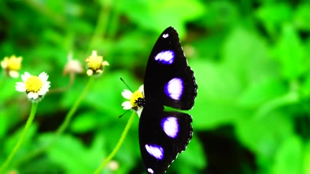 Animal and nature, Thai butterfly in pasture VERBENA BONARIENSIS flowers Insect outdoor nature