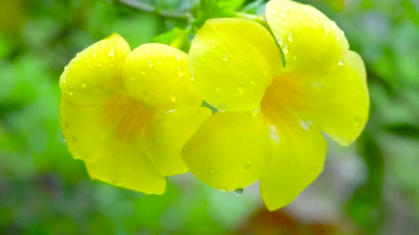 Close up yellow flower and drop water on flower