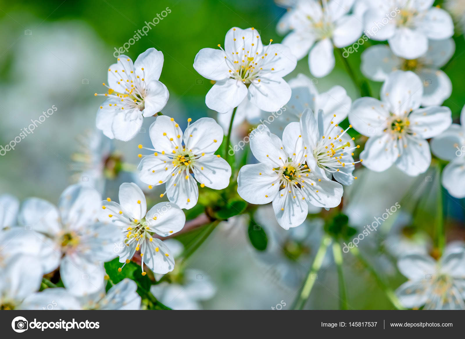 White cherry tree flowers stock photo desertsun 145817537 white flowers of a cherry tree in full bloom and blossom closeup view joy and beauty of spring season photo by desertsun mightylinksfo