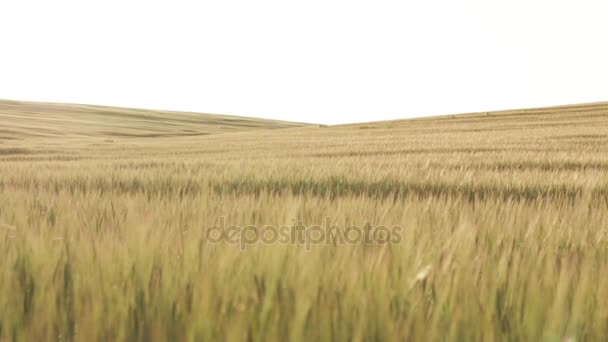 Wheat Field Before Sunset, slow dolly shot 01