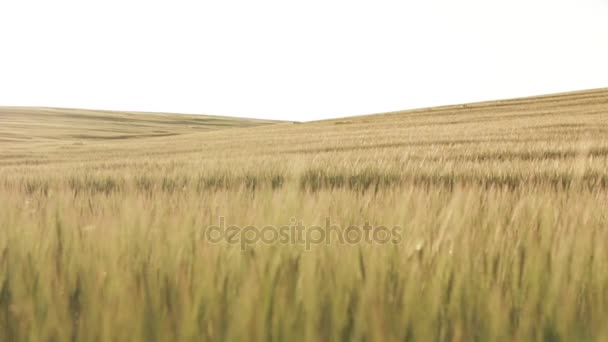 Wheat Field Before Sunset, dolly shot 02