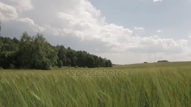 Pole zelené pšenice, pohyb kamery 01