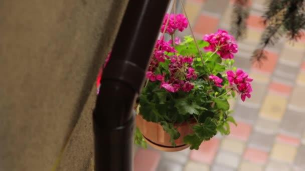 Růžové květy v květináč