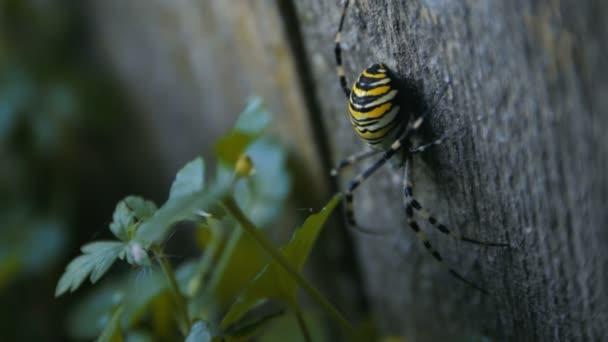 Große Wespenspinne auf der Holzplanke
