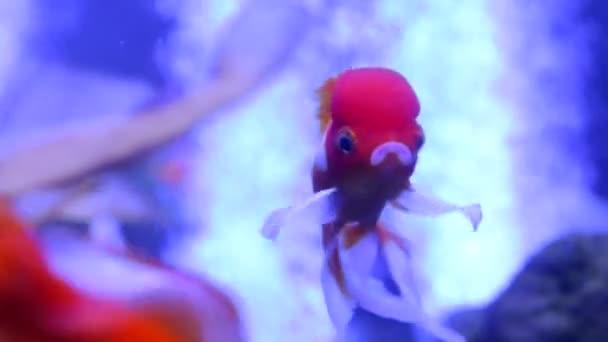 Goldfish Oranda Ranchu Exotic