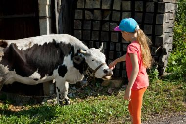 Little girl stroking cow