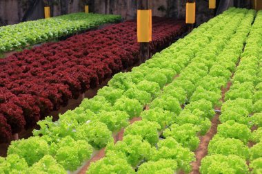 Rows of multicolor lettuce