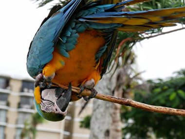 A colorful parrot in an upside down position in a branch