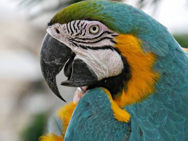 Close up of a parrots face and head, side view