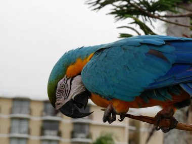 Side view of a colorful parrot holds a tree branch