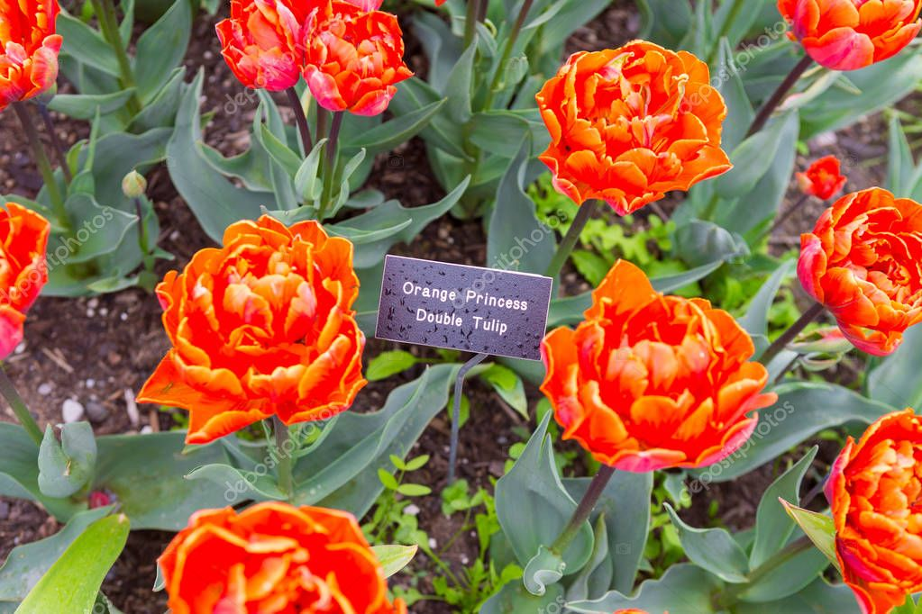 SEATTLE, WA - APRIL 29, 2017: Scagit Valley Tulip Festival in Washington.