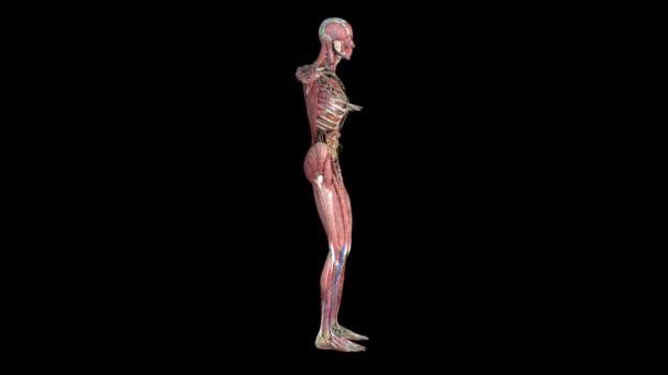 Lidské anatomie. Anatomický model lidské se otáčí kolem své osy na černém pozadí
