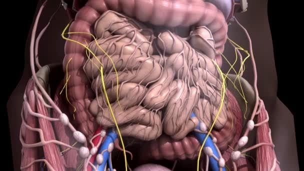 Anatomia Czlowieka Wnetrznosci Ruch Wewnatrz Jamy Brzusznej Wideo