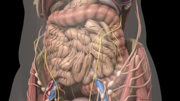 Anatomie des Menschen. Bewegung Mut in den Bauch — Stockvideo ...