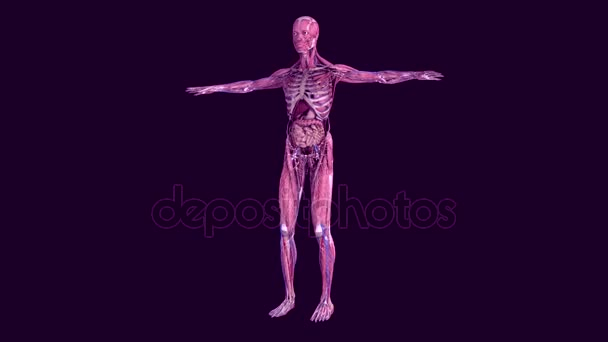 Human anatomy. The anatomical model of a human is rotated around its axis on black background.