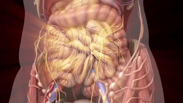Anatomie humaine. Tripes de mouvement à l\'intérieur de l\'abdomen ...