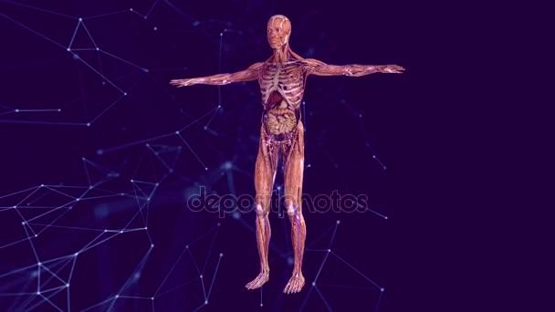 Anatomía humana. El modelo anatómico de un ser humano gira alrededor ...