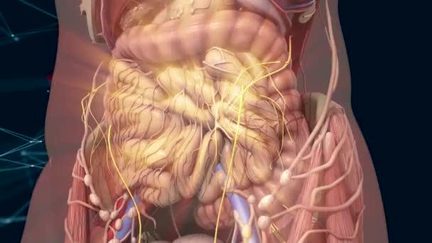 Anatomía humana. Tripas de movimiento dentro del abdomen — Vídeos de ...