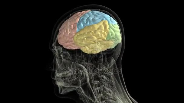 Human Anatomy The Anatomical Model Of A Human Brain Is Rotated