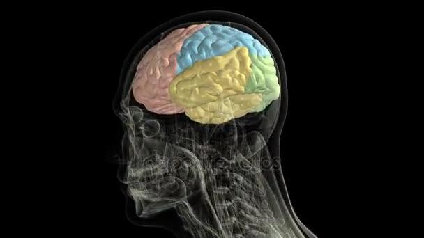Anatomie des Menschen. Anatomische Modell des menschlichen Gehirns ...