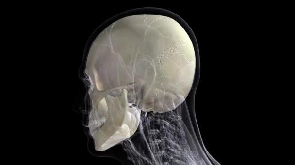 Anatomía humana. El modelo anatómico de un cráneo humano gira ...