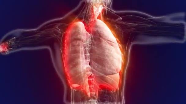 Anatomie des Menschen. Anatomische Modell des menschlichen Lunge ...