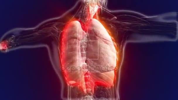 Anatomía humana. El modelo anatómico de los pulmones es rotado ...