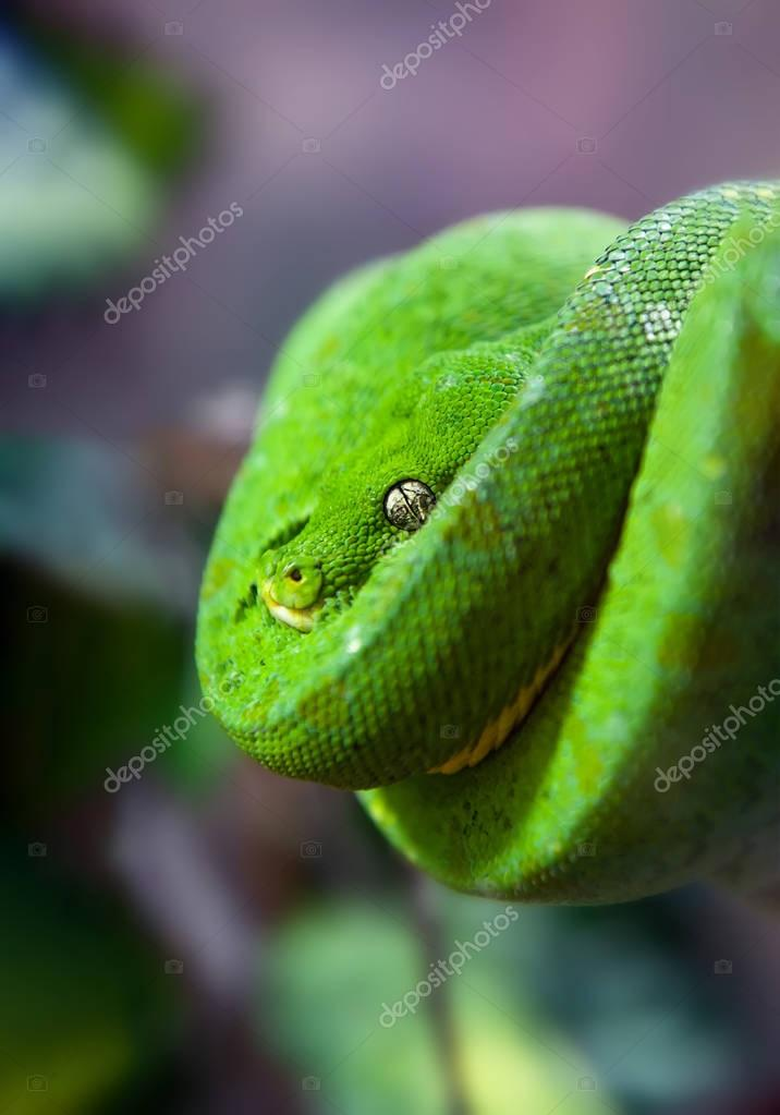 Green Python with Golden eye hanging on a branch in a spiral close up