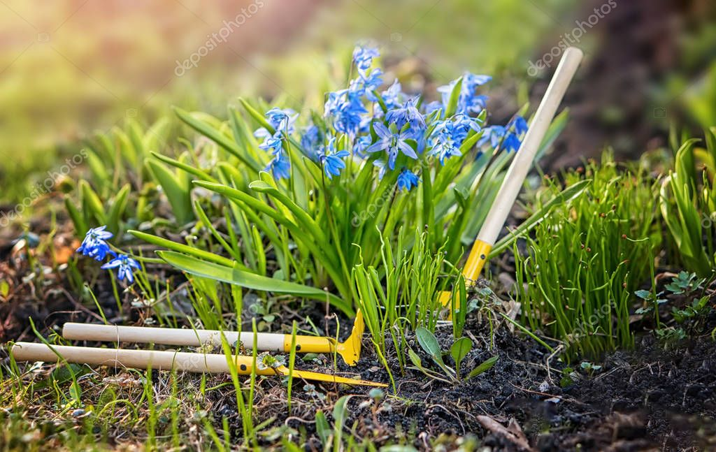 Blue Scilla growing in the garden and care items for them in the morning at dawn sunlight horizontal frame