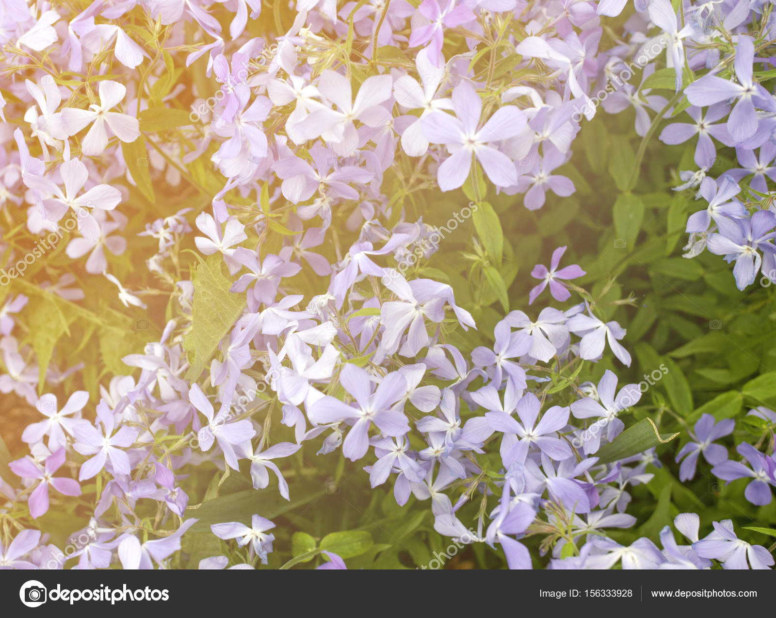 Small Purple Flowers At Sunset Texture Stock Photo Medvedevaoa