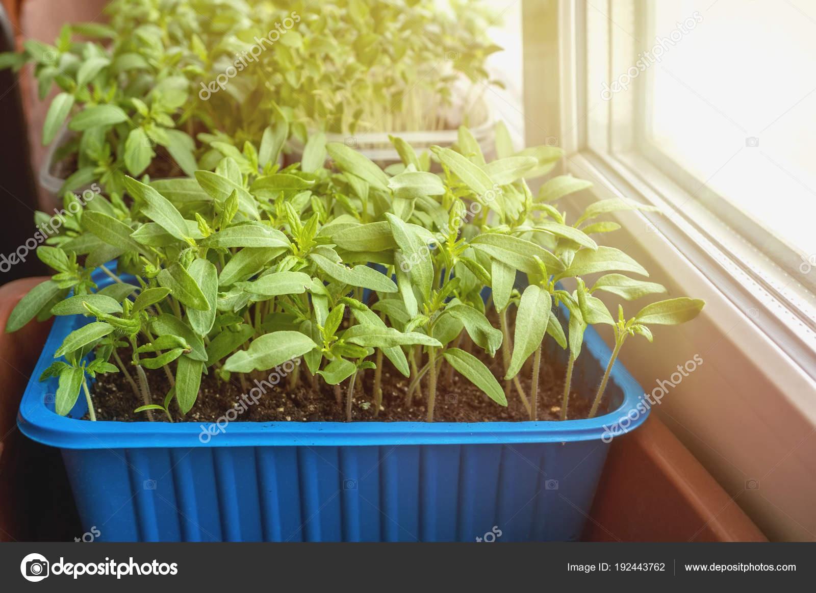 Semillas de berenjenas, tomates y pimientos para el urbano jardín y ...