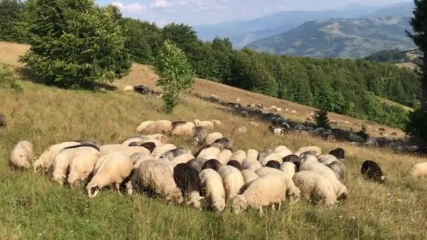 Sheep on pastures in the Carpathian mountains
