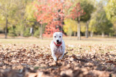 Dog Jack Russell Terrier walking at autumn park